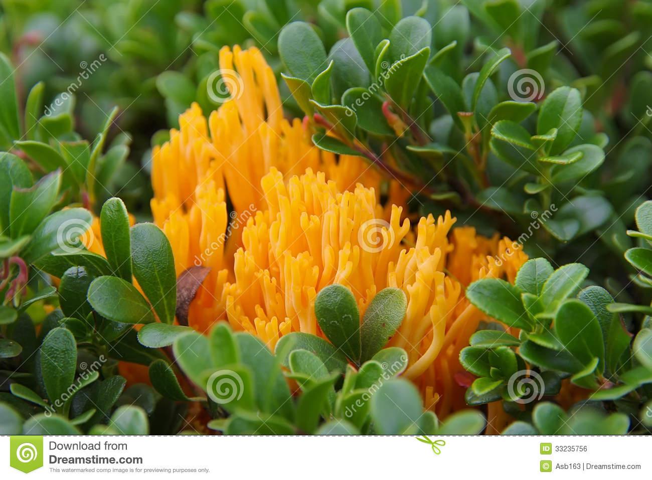 Bright Orange Fungus (Calocera Viscosa) Royalty Free Stock Image.