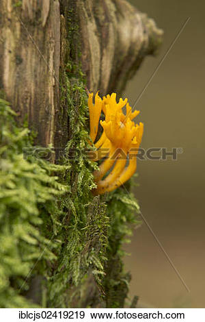 Stock Photograph of Yellow Stag.