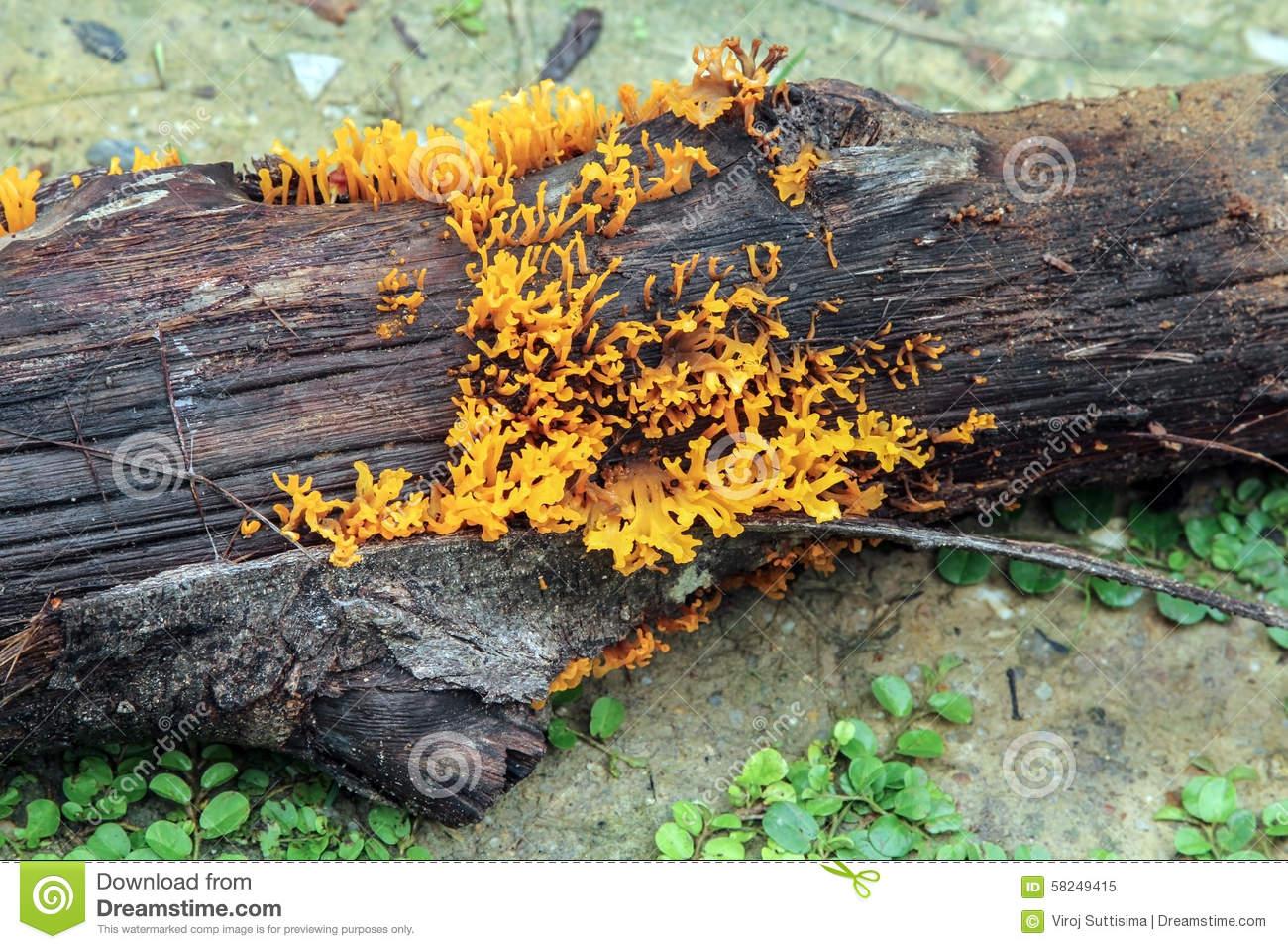 Yellow Stagshorn (Calocera Viscosa),Yellow Jelly Fungus. Stock.