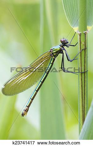 Picture of Banded demoiselle (Calopteryx splendens) k23741417.