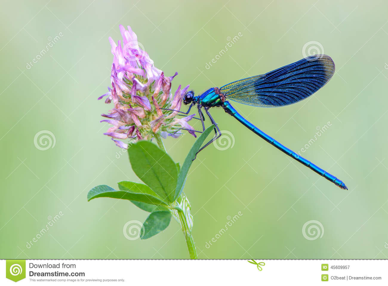 Banded Demoiselle Stock Photo.