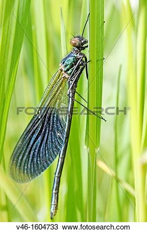 Stock Photo of Banded Demoiselle, Calopteryx splendens Male.