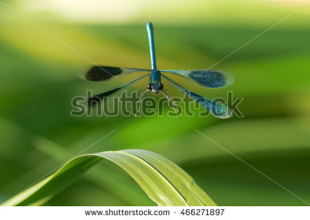 "iridescent Damselfly"" Stock Photos, Royalty."