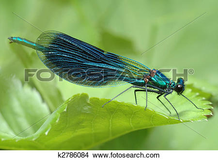Stock Photo of Dragonfly Calopteryx splendens k2786084.