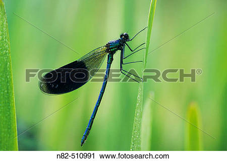 Stock Photography of Banded Demoiselle male (Calopteryx splendens.