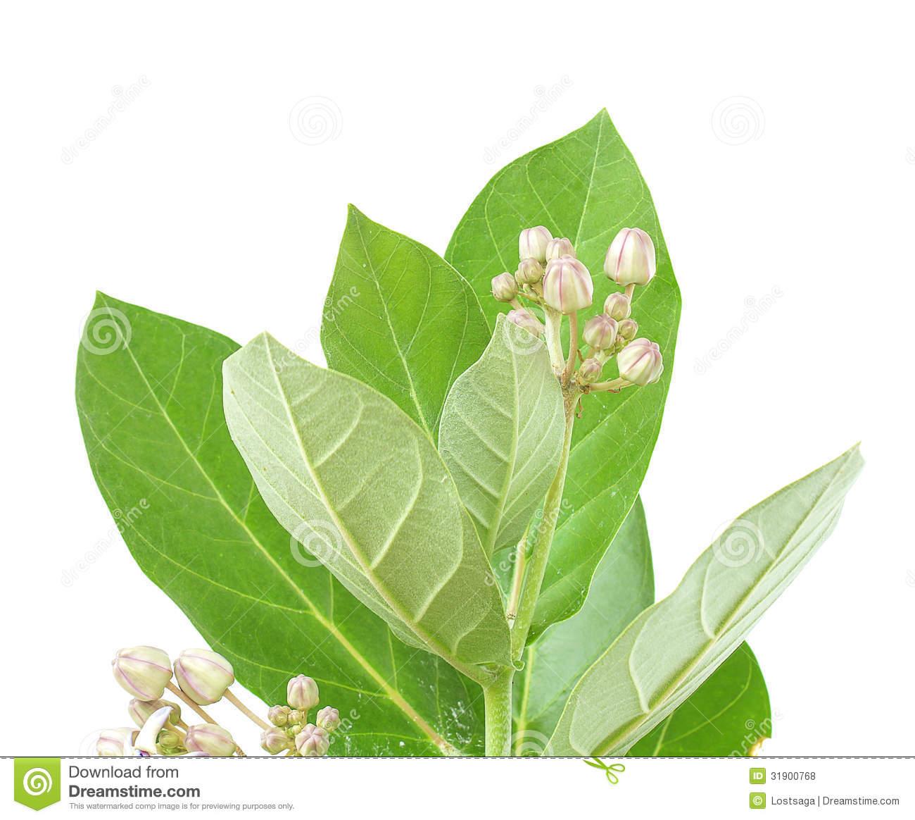 Ayurveda Medicinal Plant Calotropis Gigantea Stock Photography.
