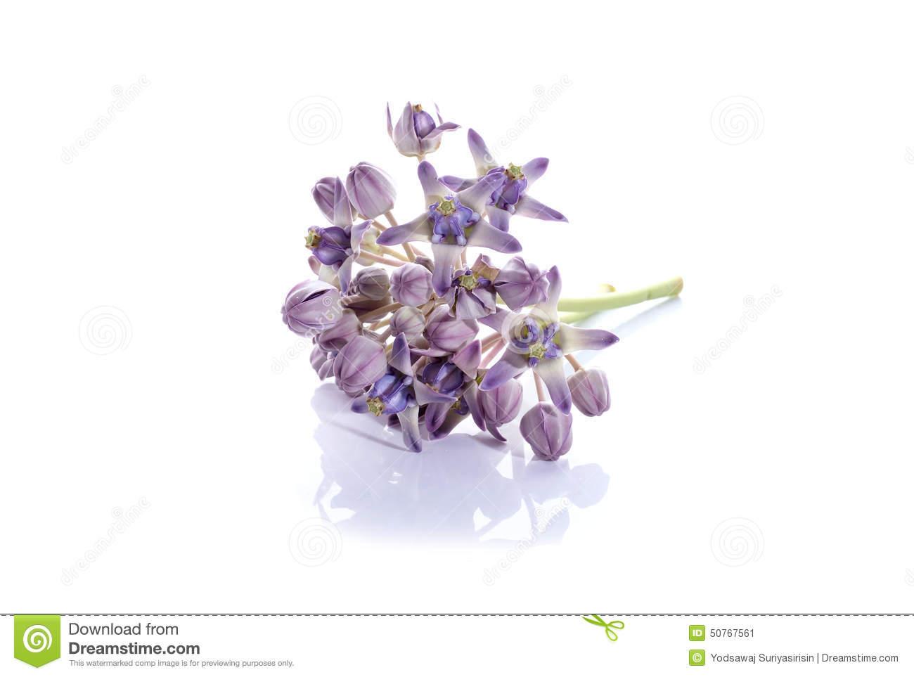 Fresh Calotropis Gigantea In A Flower Pot Stock Images.