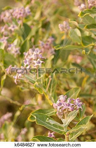 Picture of Ayurveda Medicinal Plant Calotropis Gigantea k6484627.