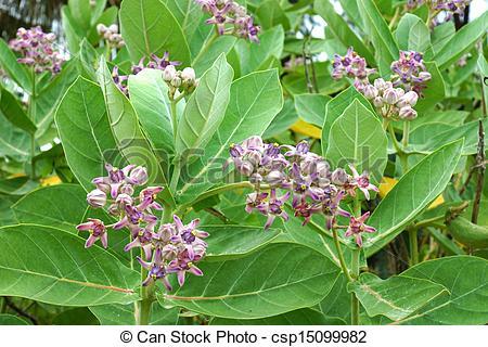 Calotropis Stock Photo Images. 169 Calotropis royalty free.
