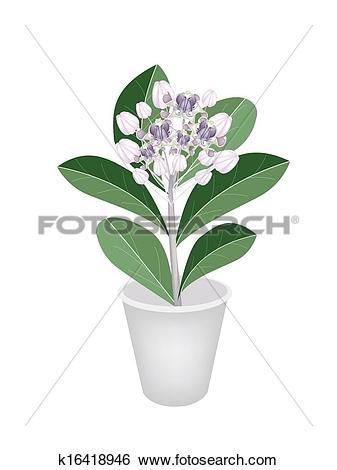 Clip Art of Fresh Calotropis Gigantea in A Flower Pot k16418946.