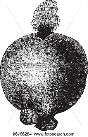 Clipart of Giant puffball or Calvatia gigantea vintage engraving.
