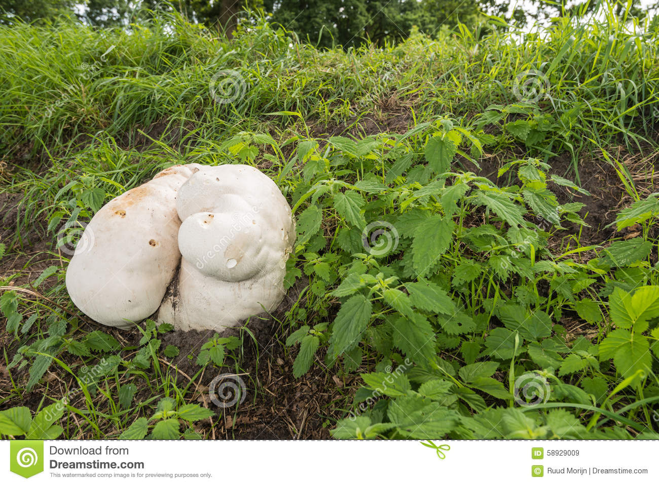 Giant Puffball Growing On The Slope Of A Stock Photo.
