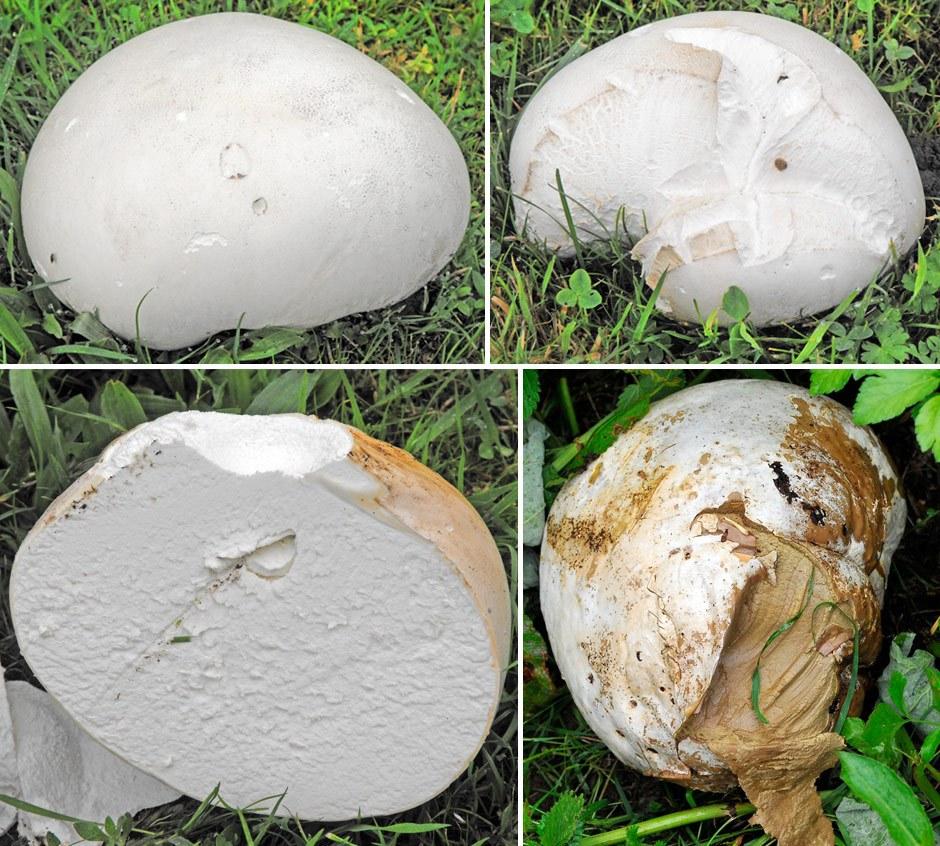 Giant puffball mushroom.