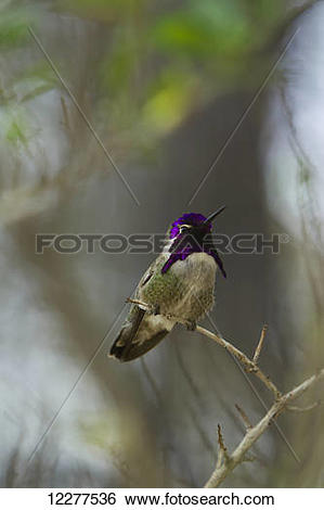 Stock Images of Costa's Hummingbird (Calypte costae.