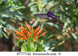 Hummingbirds Images and Stock Photos. 6,216 hummingbirds.