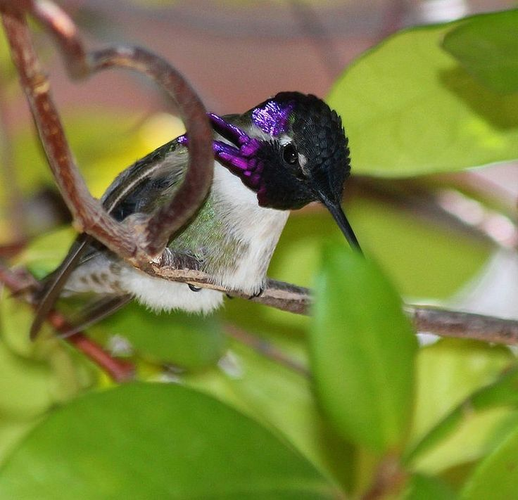 1000+ images about Hummingbirds on Pinterest.