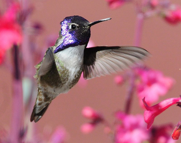 1000+ images about Costa's Hummingbirds on Pinterest.