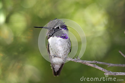 Male Costa's Hummingbird (Calypte Costae) Royalty Free Stock.