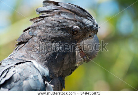 Calyptorhynchus Stock Photos, Royalty.