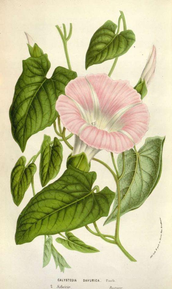 Calystegia sepium subsp. spectabilis.