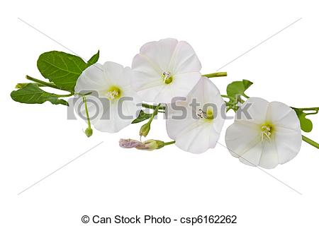 Stock Photo of Hedge Bindweed Calystegia sepium (Convolvulus.