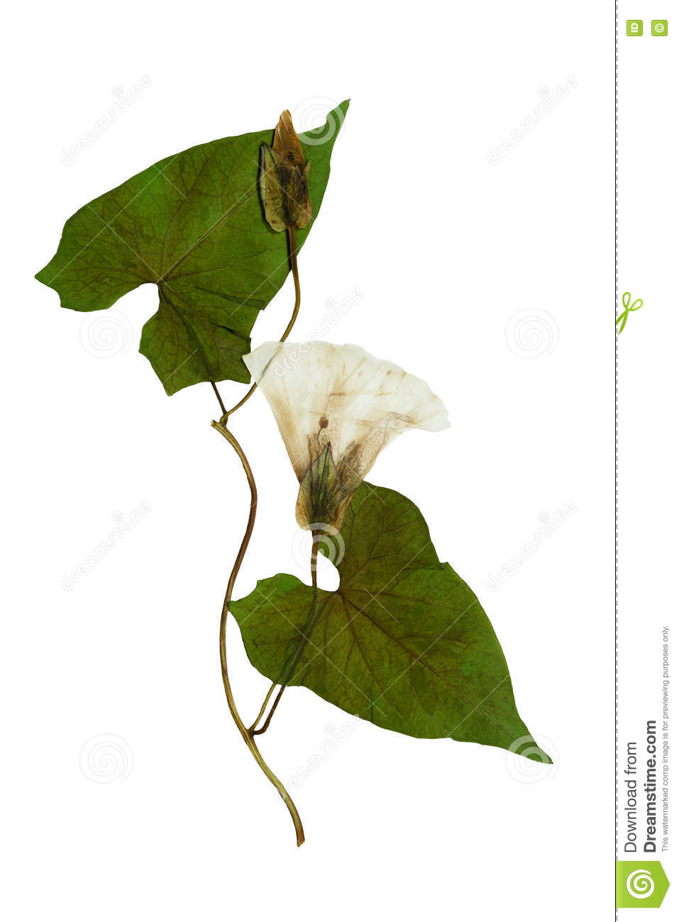 Pressed And Dried Flowers And Leaves Calystegia Sepium Stock Photo.