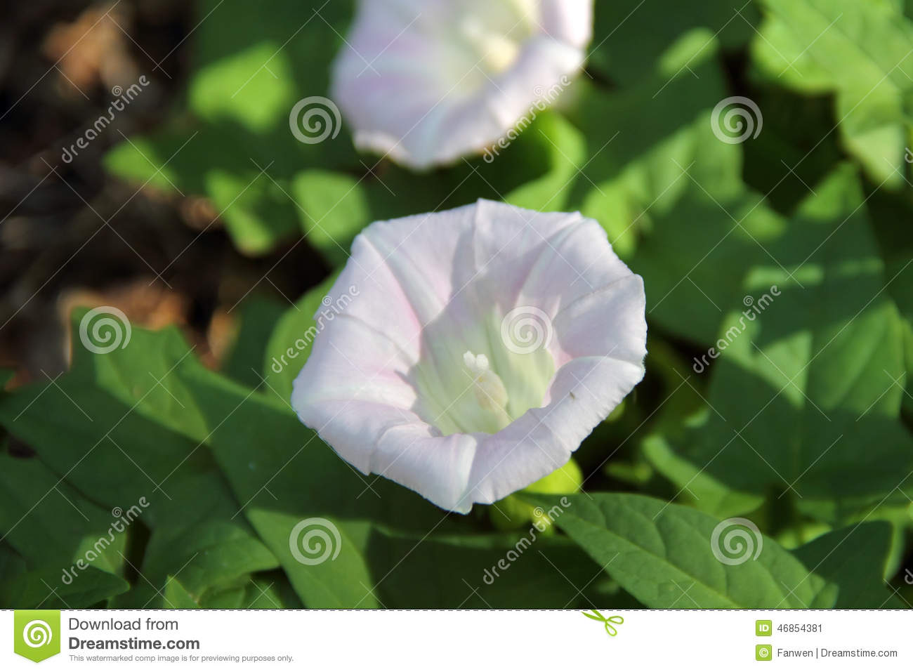 White Hedge Bindweed.