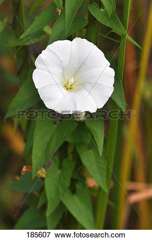 Picture of Hedge Bindweed (Calystegia sepium, Convolvulus sepium.