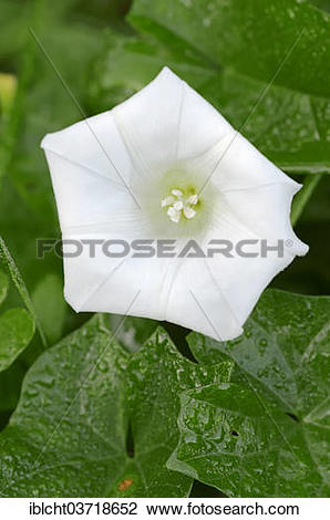 Stock Photo of Larger Bindweed, Rutland Beauty or Bugle Vine.