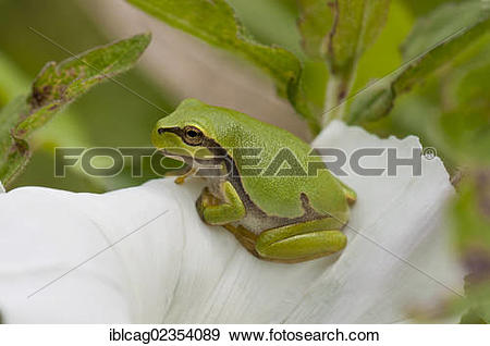 "Stock Photograph of ""Young European Tree Frog (Hyla arborea."