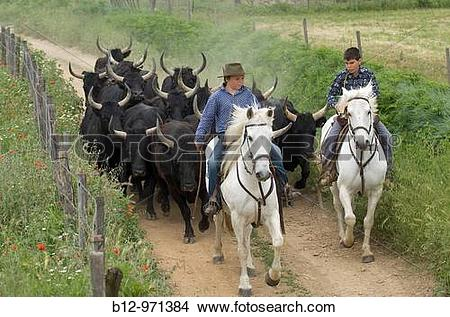 Stock Photo of Camargue bulls and French cowboys called ´gardians.