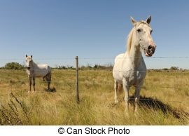 Camargue horse Clip Art and Stock Illustrations. 6 Camargue horse.