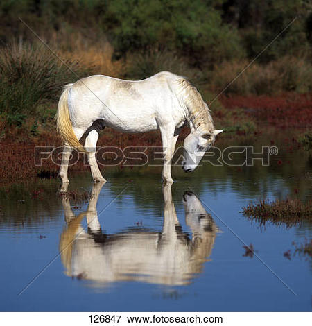 Picture of Camargue horse.