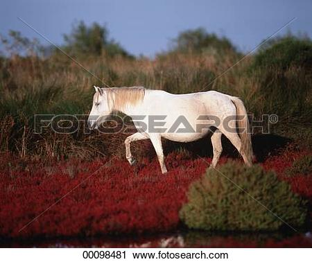 Stock Photography of Camargue, Camargue horse, Camargue horses.