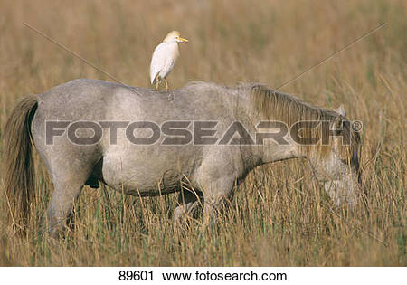 Stock Photography of symbiosis: Camargue horse with egret on its.