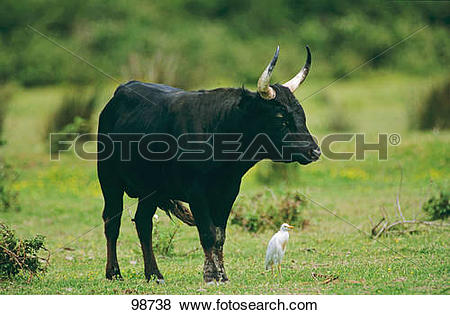 Pictures of Camargue Bull besides Cattle Egret on meadow 98738.