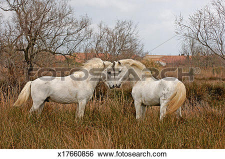 Stock Images of Two Camargue horses nuzzling in field x17660856.