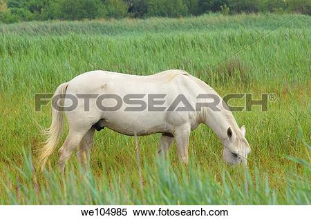 Stock Image of Camargue horse, Aigues.