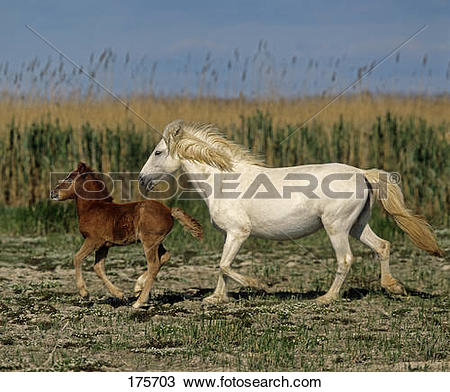 Stock Photo of Camargue Horse. Mare with bay foal trotting with.