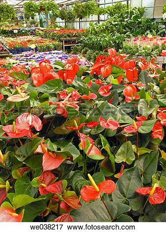 Picture of Anthurium (Anthurium sp.) and other plants in garden.