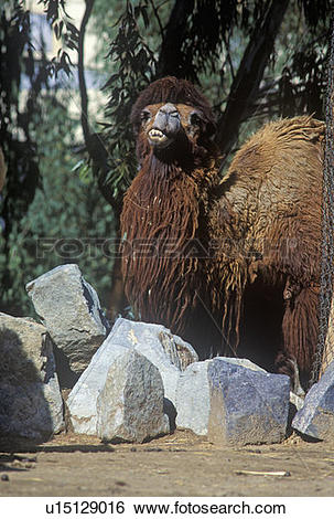 Stock Images of Bactrian Camel with winter coat, Struthio camelus.