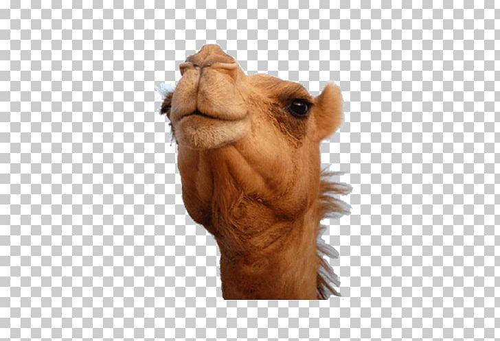 Bactrian Camel Dromedary Australian Feral Camel Camel Face.
