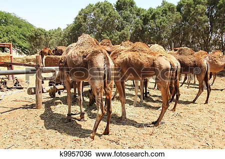 Stock Images of Camel farm. Dromedary k9957036.