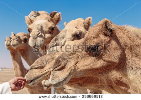 Camel Farm Stock Photos, Royalty.
