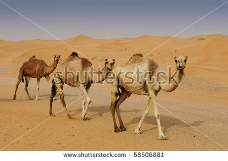 Camels In A Dubai Desert Camel Farm Stock Photo 58506881.