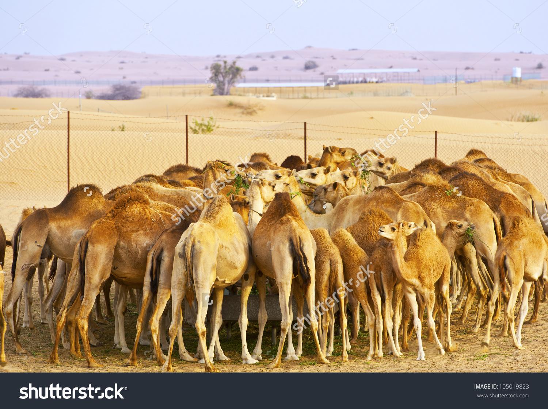 Herd Camels On Farm Desert Stock Photo 105019823.