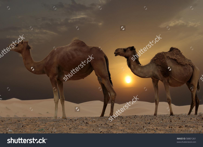 Camels In A Dubai Desert Camel Farm Stock Photo 58801261.