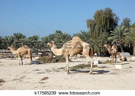 Stock Photograph of Camel farm in Bahrain, Middle East k17585239.