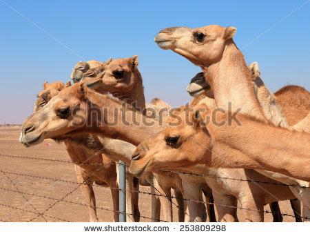 Camel farm clipart #6