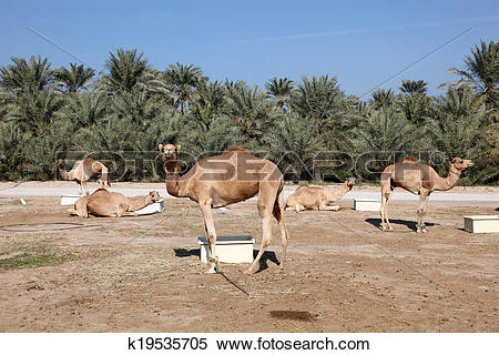 Stock Image of Camel farm in Bahrain, Middle East k19535705.